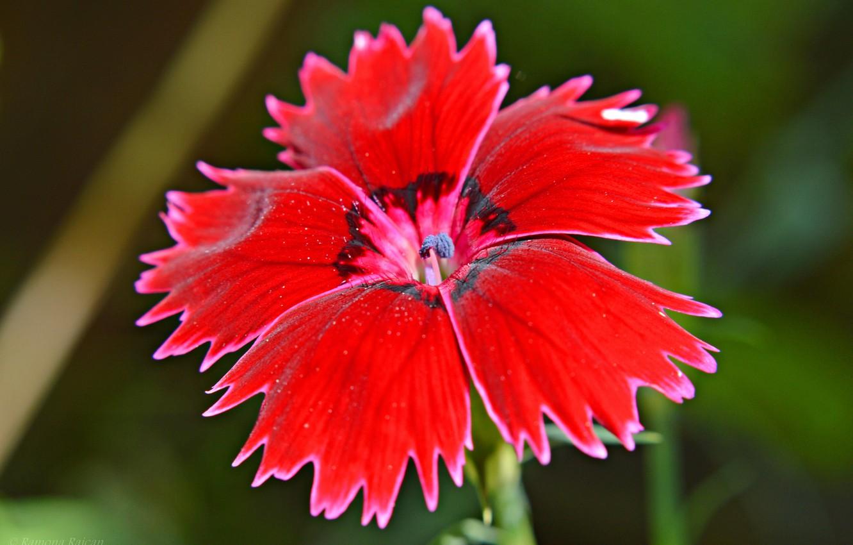 Фото обои цветок, природа, растение, лепестки, турецкая гвоздика