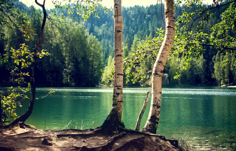Фото обои лес, деревья, озеро, ствол, береза, солнечно