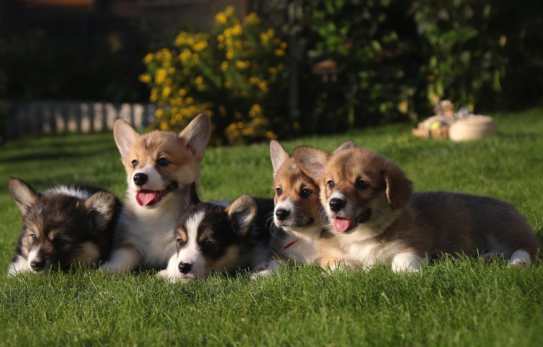 Фото обои трава, щенки, корги