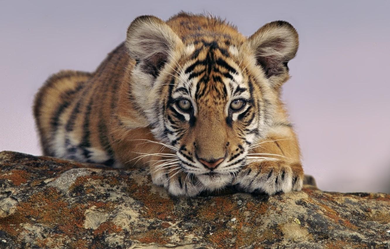 Фото обои животные, тигр, смотрит, тигренок