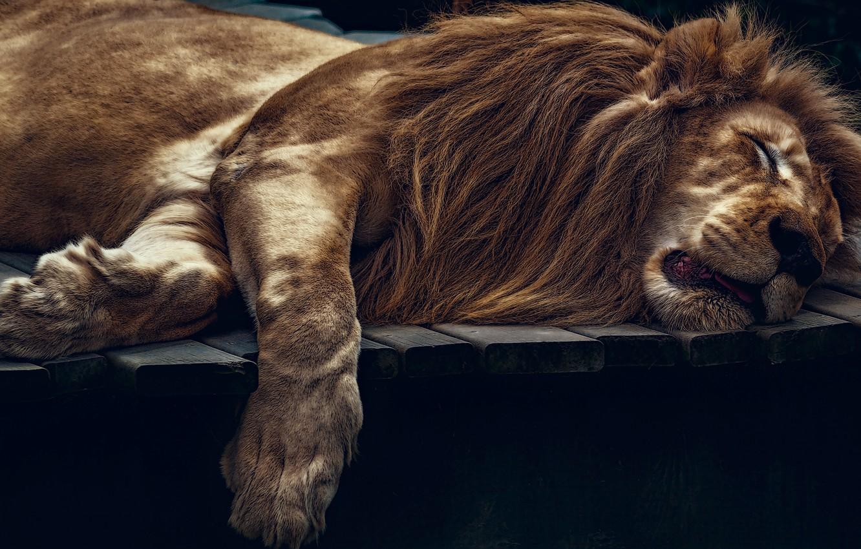 Картинки лежащий лев