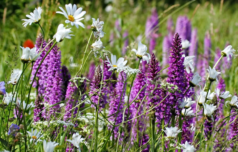 Луговые и полевые цветы фото с названиями