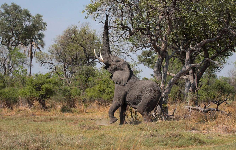 Фото обои деревья, слон, хобот