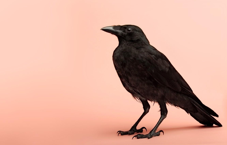 Фото обои птица, ворон, пернатые