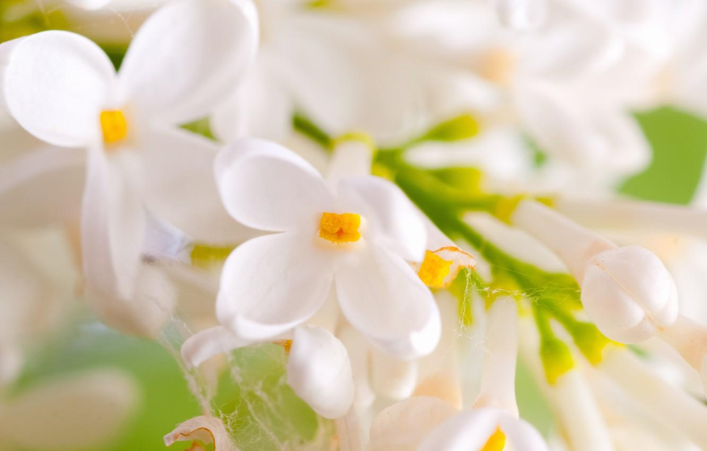 Фото обои цветы, паутина, ветка, весна, лепестки, белая, сирень