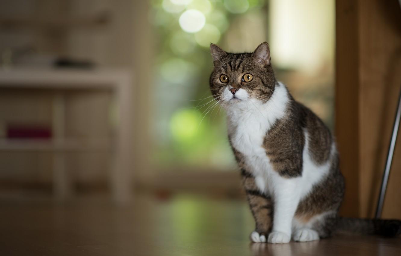 Фото обои кошка, кот, портрет, позирование