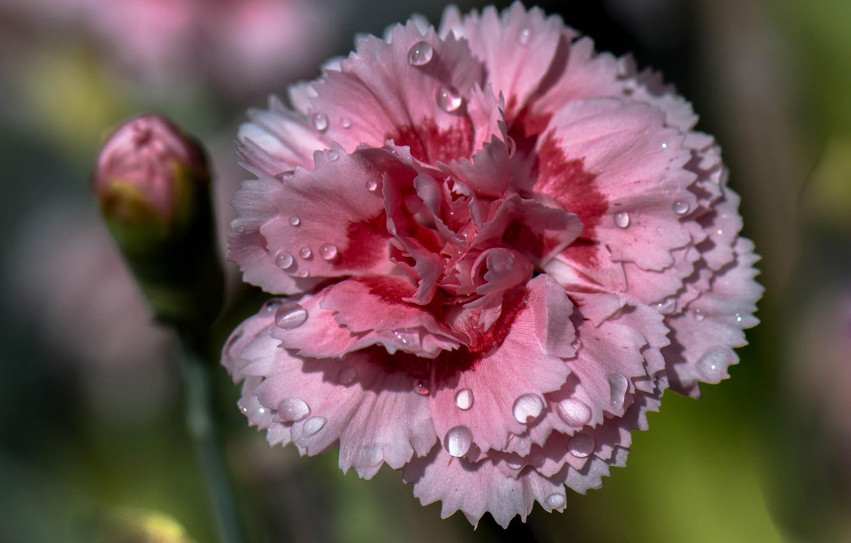 Фото обои цветок, вода, капли, роса, лепестки, гвоздика