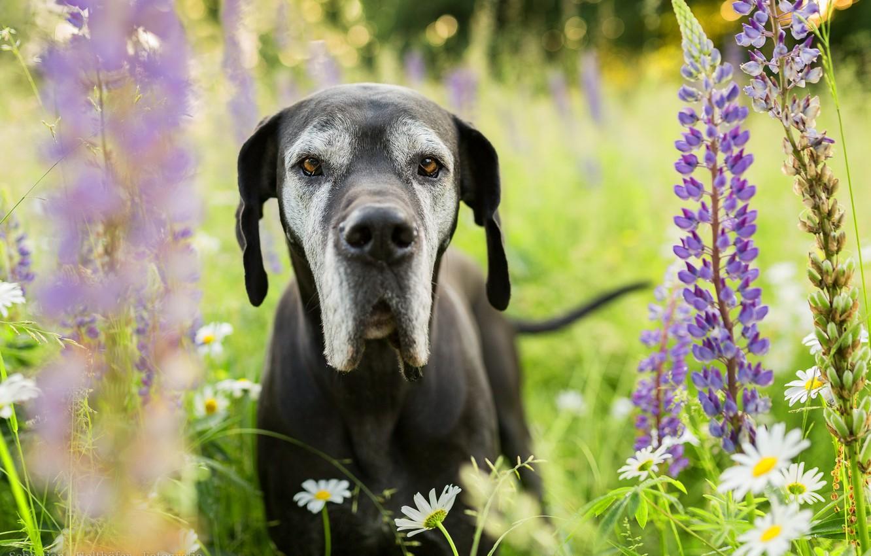 Обои собаки, люпины, цветы, Две собаки, луг. Собаки foto 8