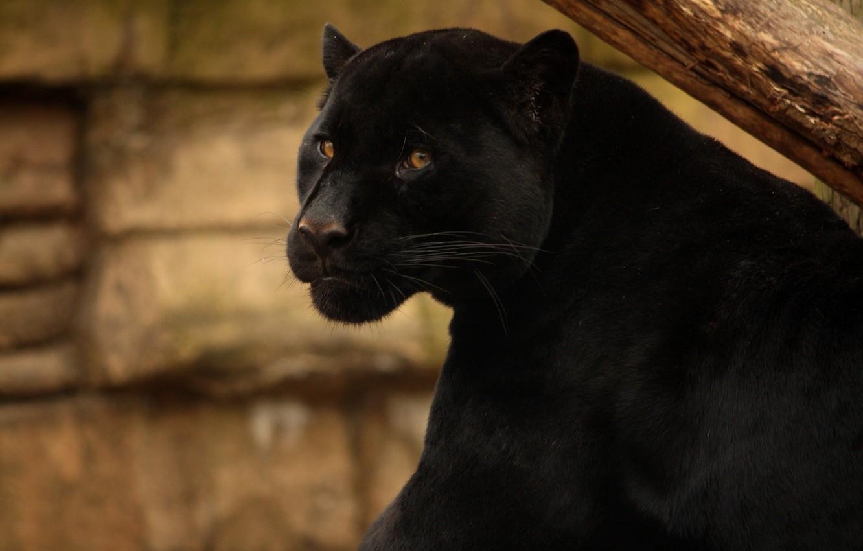 рядовой картинки черных котов пантер преподаватели