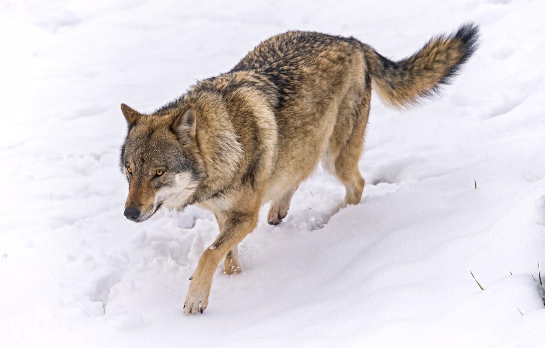 Волк в снегу картинка