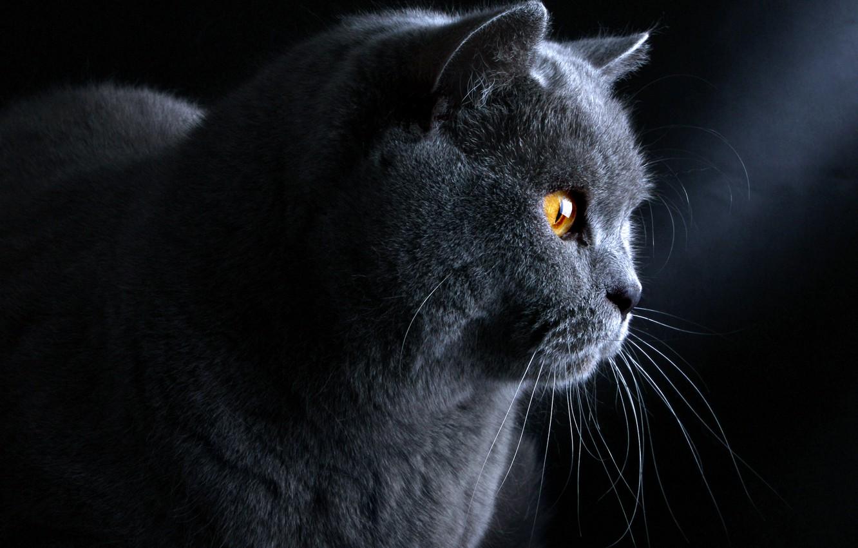Фото обои кот, голубой, британский