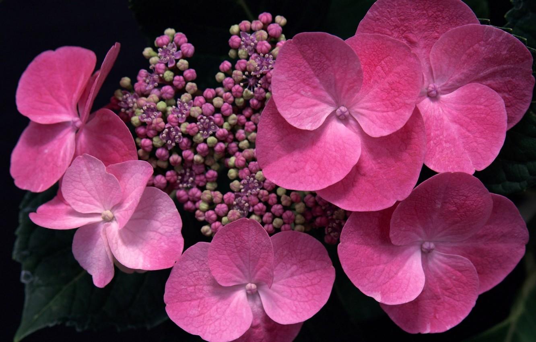 Фото обои макро, цветы, розовая, бутоны, гортензия