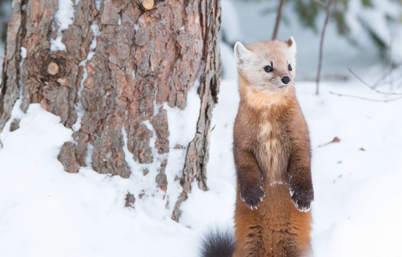 Фото обои зима, снег, стойка, зверёк, куница