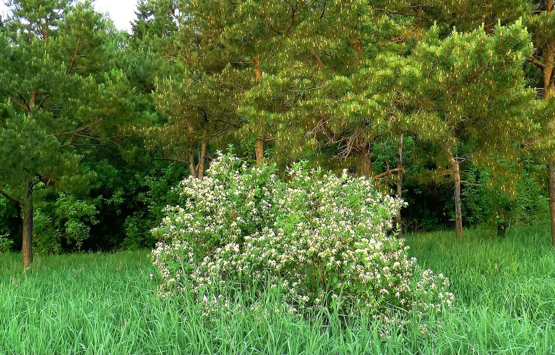 Фото обои лес, куст, весна, май, сосны, Цветение, Сибирь