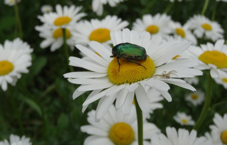 Фото обои макро, цветы, паук, Ромашки, майский жук