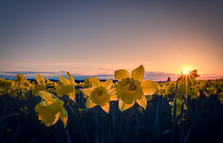 Фото обои поле, небо, солнце, облака, лучи, закат, цветы, оранжевый, провода, вечер, желтые, лепестки, Нарциссы