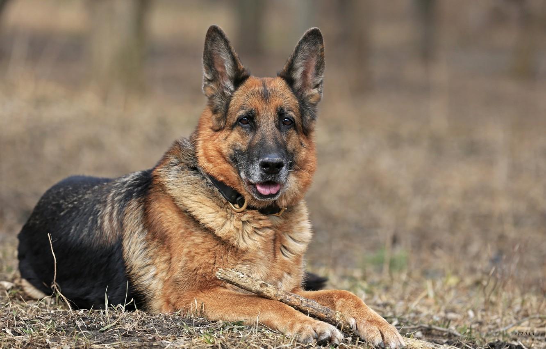 Картинка породы собак овчарки