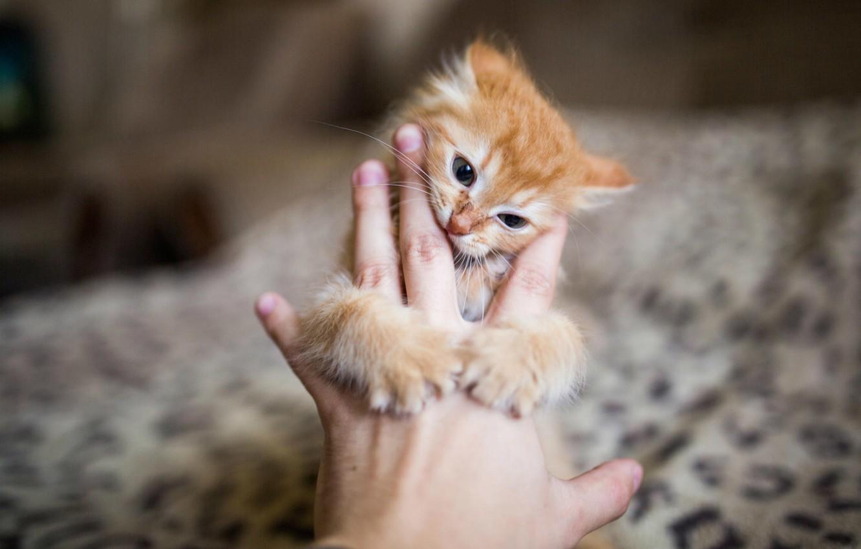 Фото обои котенок, рука, размытость, Рыжий