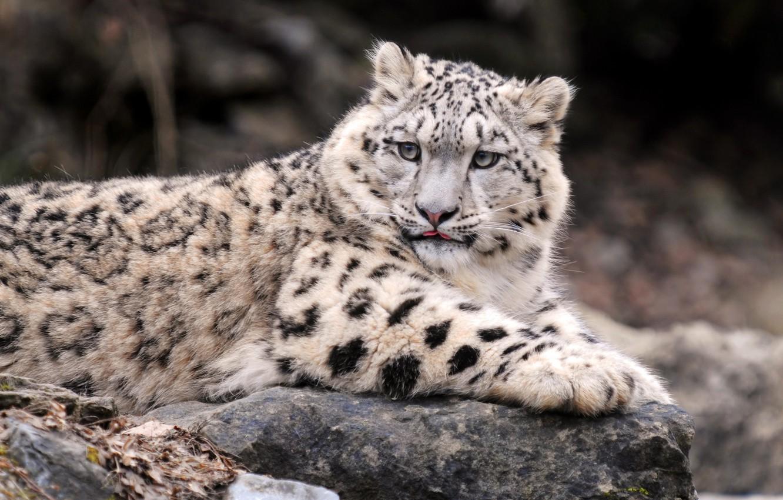 Обои by kenket, леопард. Разное foto 6