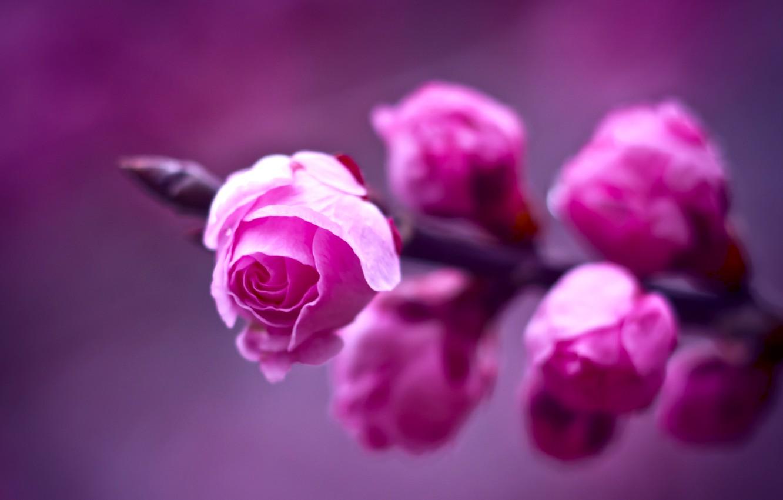 Фото обои фиолетовый, макро, фон, розы, ветка, размытость, Розовые