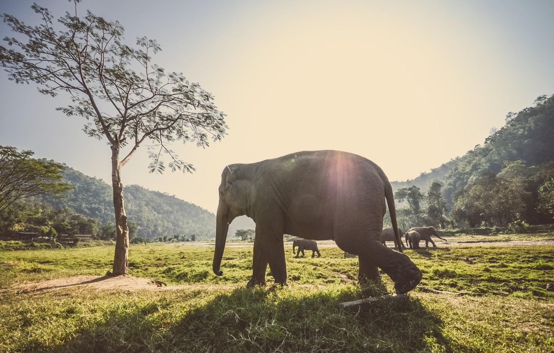 Фото обои лес, животные, трава, лучи, деревья, слоны, стадо, отблик