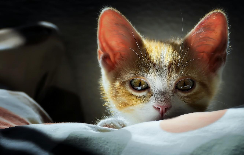 Фото обои взгляд, мордочка, котёнок