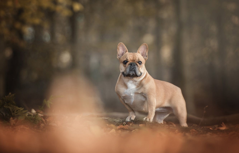Фото обои осень, лес, листва, собака, французский бульдог, коротышка