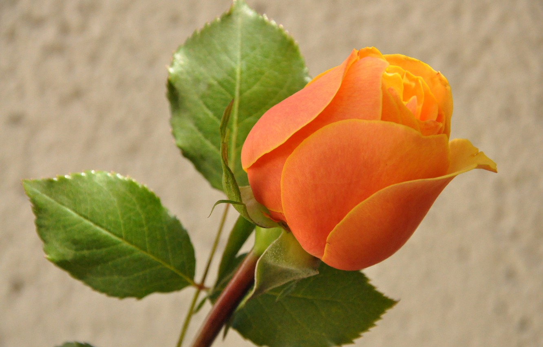 Фото обои листья, макро, природа, роза, лепестки, бутон
