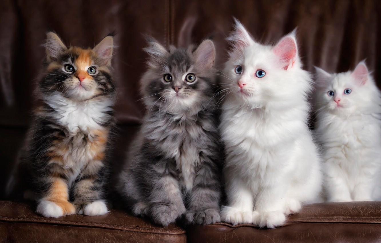 Фото обои четыре, пушистых, котёнка