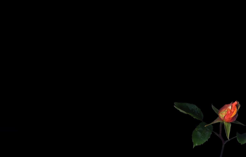 Фото обои цветок, свет, обои, роза, листок, тень, бутон