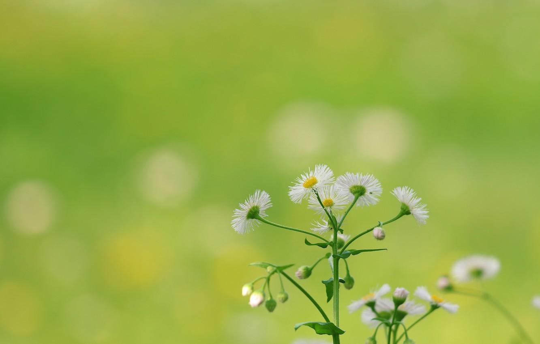 Фото обои цветок, фон, ромашка
