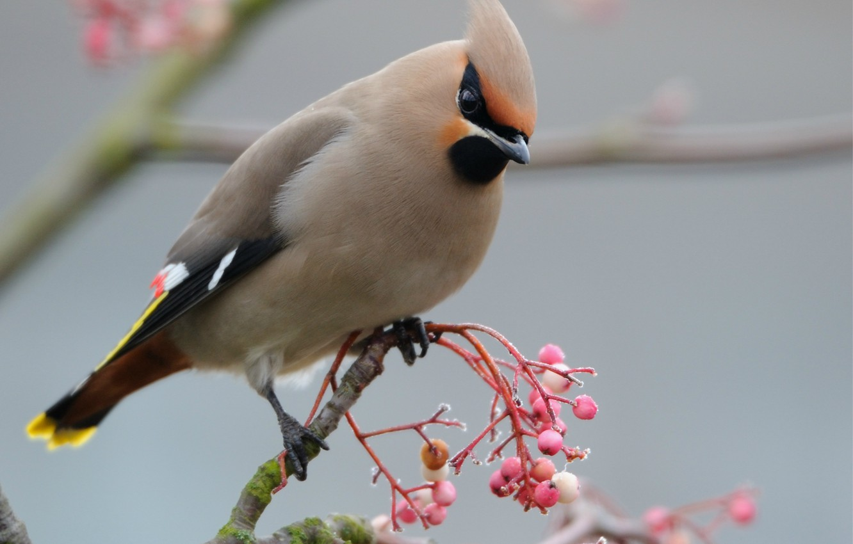 Фото обои макро, ягоды, птица, ветка, розовые, птичка, Свиристель
