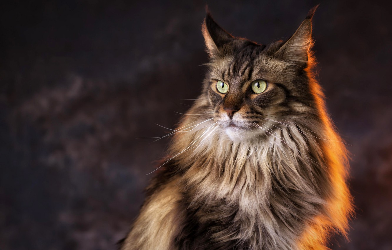 хотите кошки мейн кун картинки того, чтобы лучше