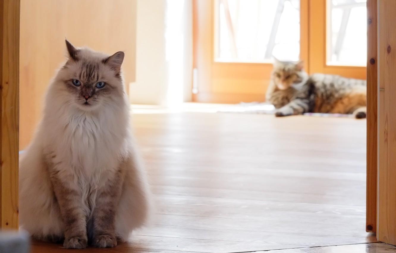 Фото обои кошки, дом, в ссоре