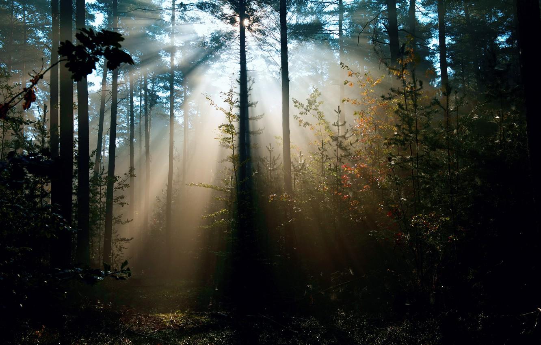 Фото обои лес, лучи, свет, деревья, природа, солнца