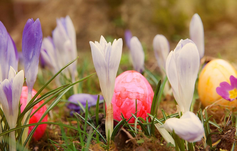 Фото обои трава, цветы, природа, праздник, яйца, весна, Пасха, крокусы, крашенки
