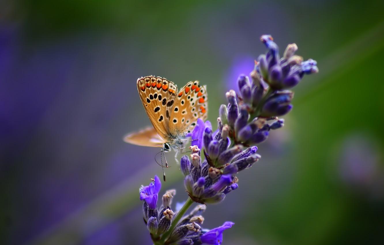 Фото обои цветок, макро, природа, бабочка, растение, насекомое, лаванда