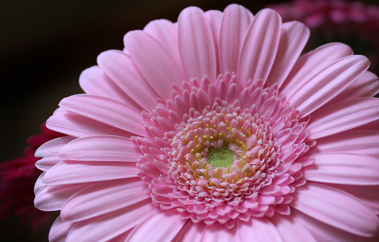 Фото обои цветок, розовый, лепестки, flower, pink, petals, Гербера, gerbera