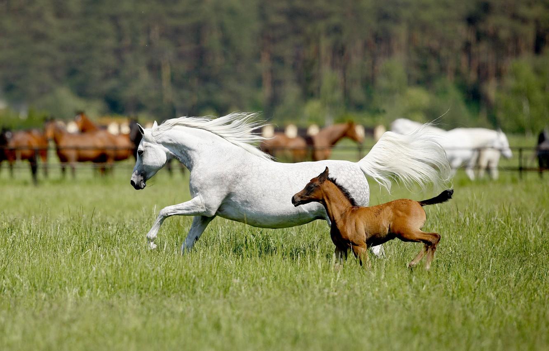 Фото обои поле, лето, трава, лошадь, лошади, белая, коричневый, жеребенок, скачут, обои от lolita777