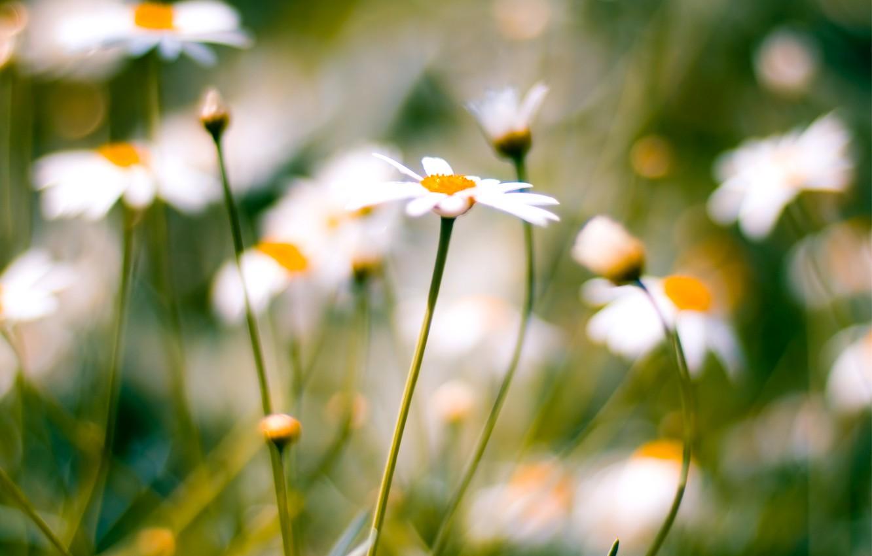 Фото обои макро, размытость, Ромашки, macro, daisies