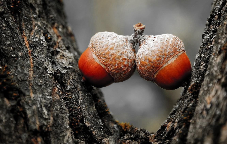 Фото обои деревья, природа, стволы, плоды, пара, жёлуди