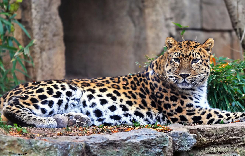 этих леопард кошка уссурийский фото они