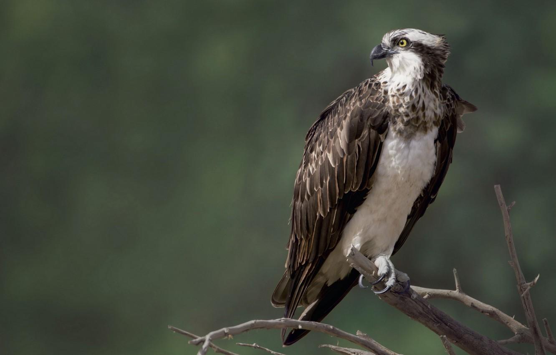 Фото обои природа, птица, сокол, Osprey, скопа