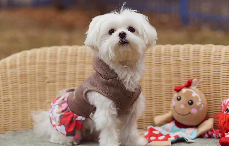 Фото обои взгляд, кукла, костюм, собачка