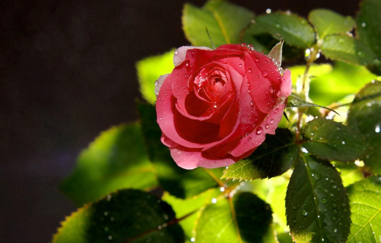 Фото обои капли, цветы, розы