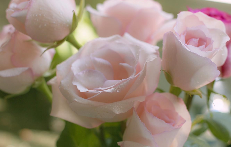 Фото обои нежность, розы, букет, бутоны