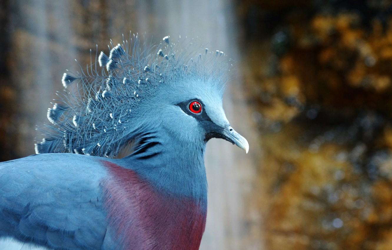 Фото обои птица, bird, венценосный голубь, Victoria Crowned Pigeon