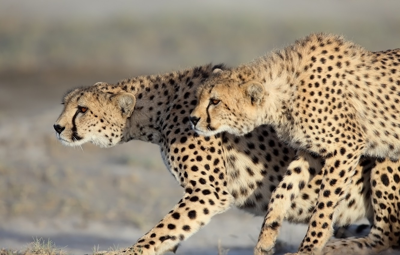 Фото обои хищники, дикие кошки, парочка, гепарды