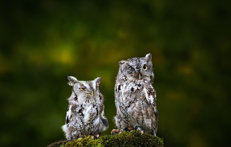 Фото обои птицы, фон, две, совы