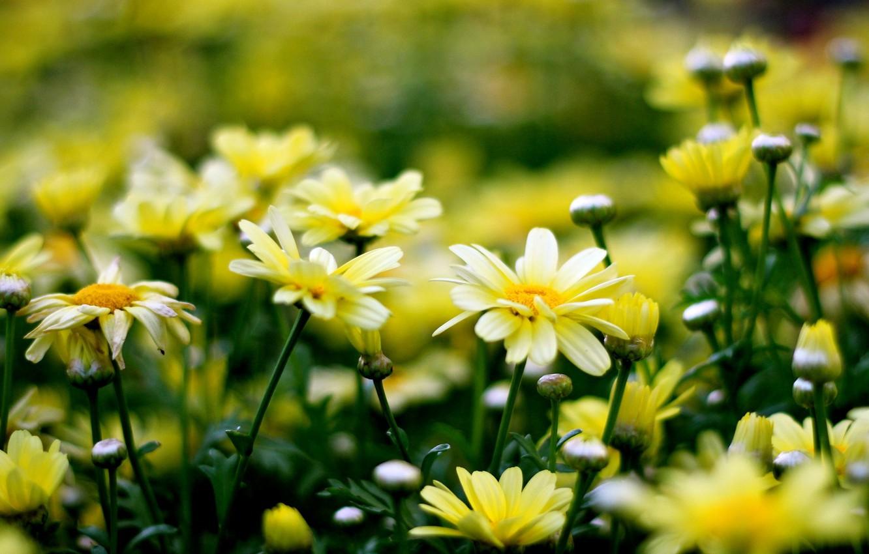 Фото обои цветы, желтый, фон, widescreen, обои, wallpaper, цветочки, flower, широкоформатные, flowers, background, полноэкранные, HD wallpapers, широкоэкранные, …